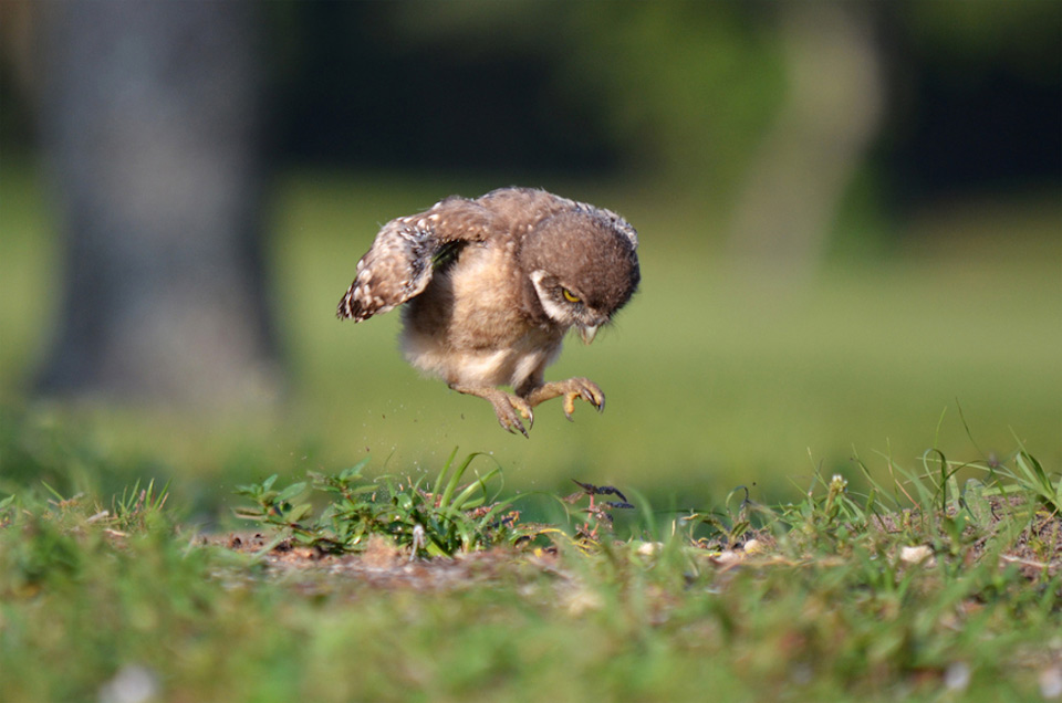 baby-owl-learning-to-fly