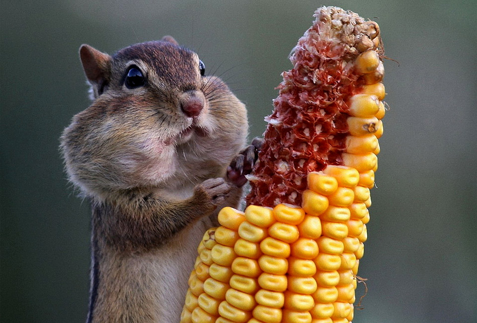 chipmunk-eats-corn