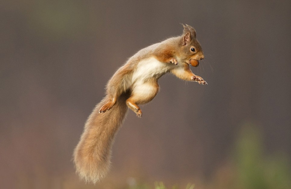 a-red-squirrel-jumps